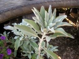 White Sage Salvia apiana