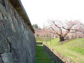 Cherry blossom in Goryokaku