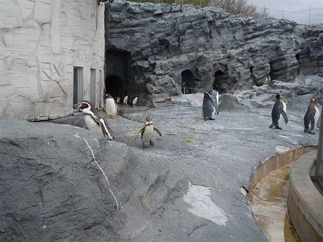 asahiyamazoo-penguin2