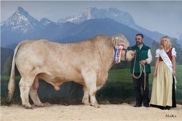 National Champion male 2010: BAM BAM MS (V: ULRICH AT) A: Maizinger Josef-Franz, 9562 Himmelberg, KRZV ( © Stephan Hauser)