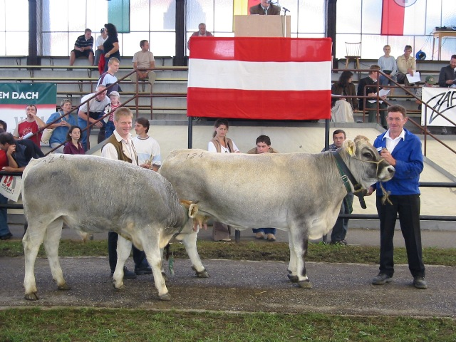 GV-Kuh mit Kalb