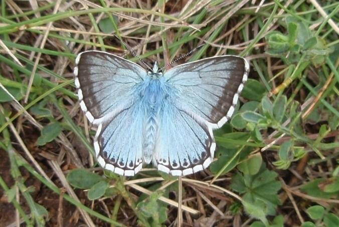 L'argus bleu-nacré