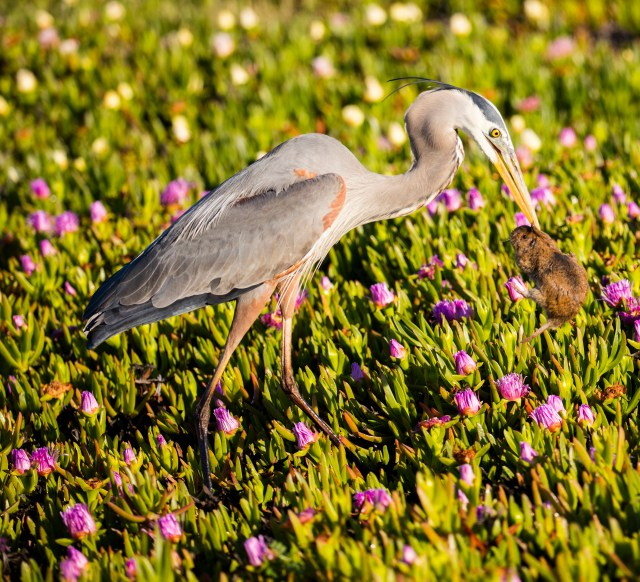 Great Blue Heron vs. Muskrat, Santa Barbara, California