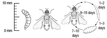 Fruit-fly-lifecycle