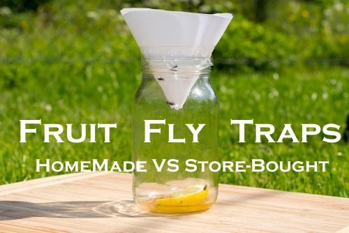 Best Fruit Fly Traps – Compare Both Homemade and Store-Bought