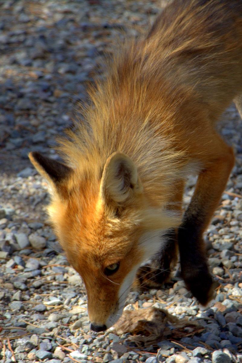 Fox in Whitehorse