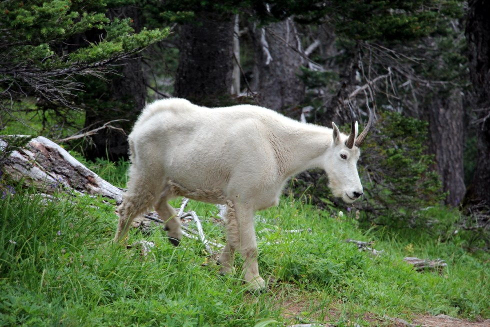Mountain goat on Hurricane Ridge