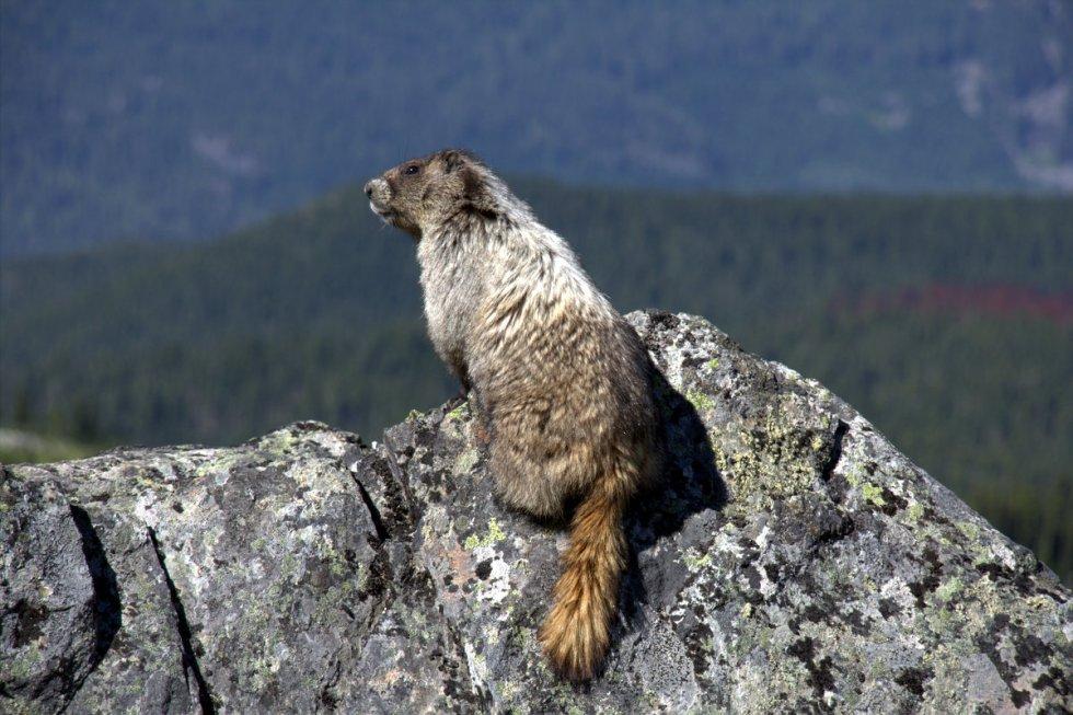 Marmot on Whistler mountain hike