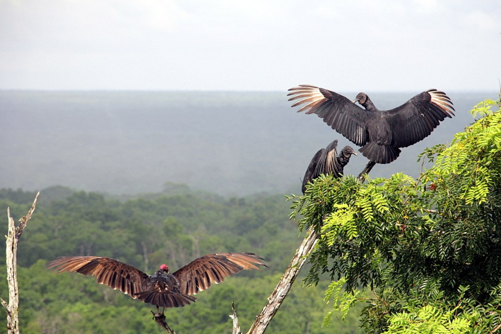 Vultures at Calakmul