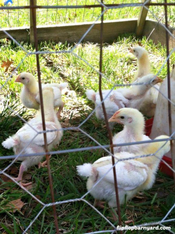 Meat birds in chicken tractor
