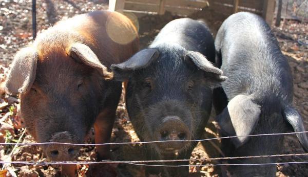 7 Tips for the Novice Pig Farmer | The Flip Flop Barnyard