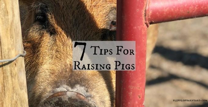 7 Tips for raising pigs.