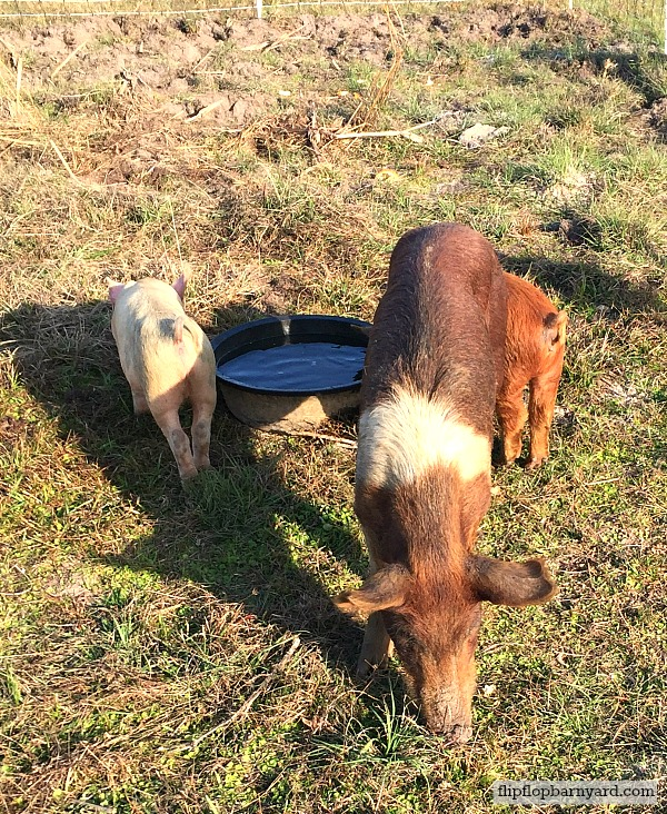 Pasture raised pigs.