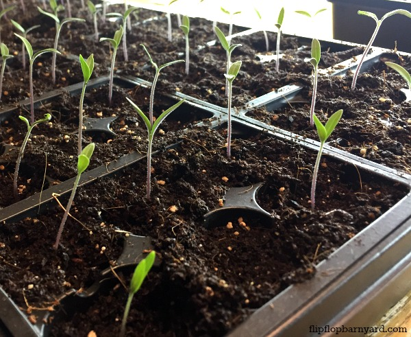 Sprouted tomato plants.