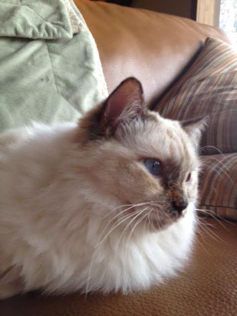 Ivy, a Blue cream tortie Ragdoll, loved by Gina