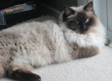 1 year old Seal Point Ragdoll Jazzy loved by Beth
