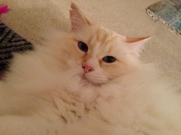Symba (flame point) loved by Liz Broussard