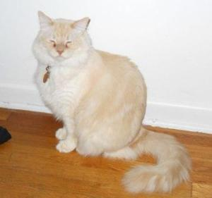 Dexter, a Flame Lynx Colorpoint Ragdoll