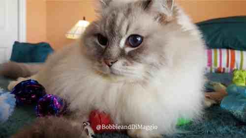 dimaggio-blue-lynx-mitted-ragdoll-cat-loved-by-nancy