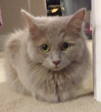 Willow, a solid lilac purebred Ragdoll, loved by Shannon