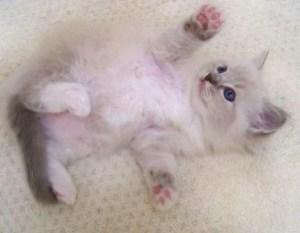 Trigg as a Ragdoll Kitten