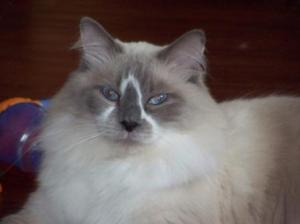 Chazz - He is 2 year and 3 months old. He is a Blue Mitt Ragdoll with an odd triangle blaze