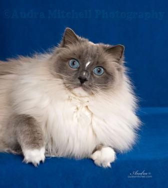 Zoey, Blue Mitted with Blaze, owned and loved by Audra Mitchell