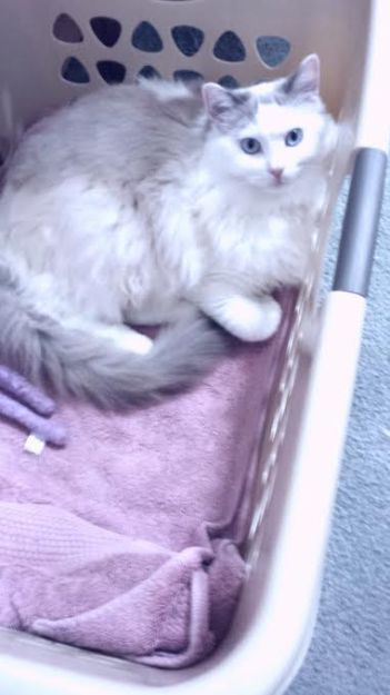 Khari - Ragdoll in Laundry Basket owned by Martha Jimenez