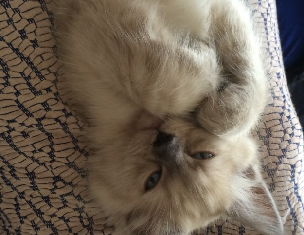 Ragdoll Kitten with paws crossed