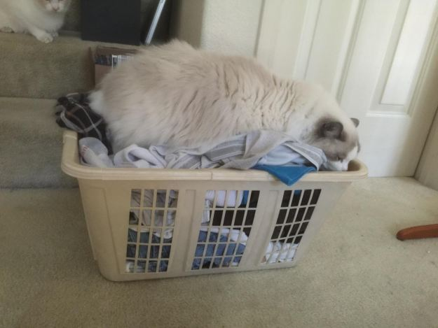 Ragdoll Cat in a Laundry Basket