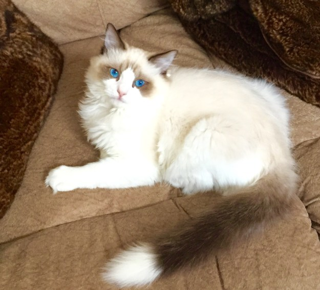 Ragdoll Cat Pookie with white tipped tail