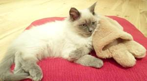 Fred 2 Freddy - Ragdoll of the Week