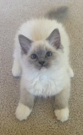 Sophie - Ragdoll Kitten of the Month 3