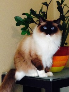 Schumann and Sky ragdoll of the week