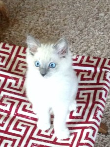 Ash and Addie Ragdoll Cat Rehoming Story
