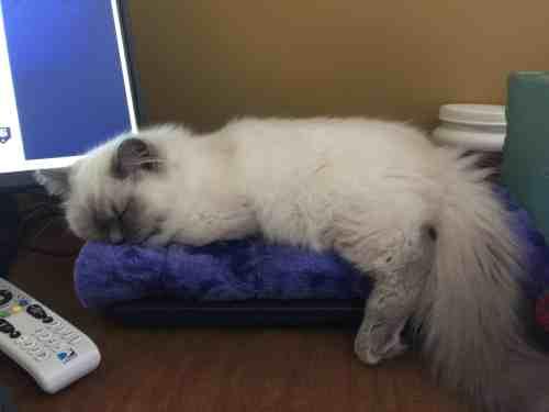 Jeter - Ragdoll Kitten of the Month Monitor1