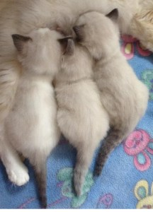 Willetteragdol Ragdoll Breeder in Massachusetts Kitten Snack Time