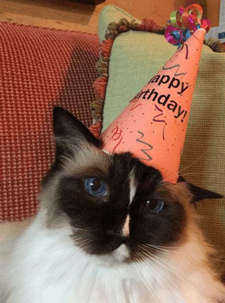 Murphy Birthday 2016 12 year old Ragdoll Cat 2