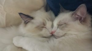 dusty-and-dolly-ragdolls-of-the-week-2018