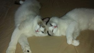 dusty-and-dolly-ragdolls-of-the-week-2031