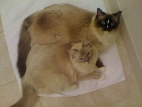 Ragdoll Cats Charlie and Trigg on a Bath Mat