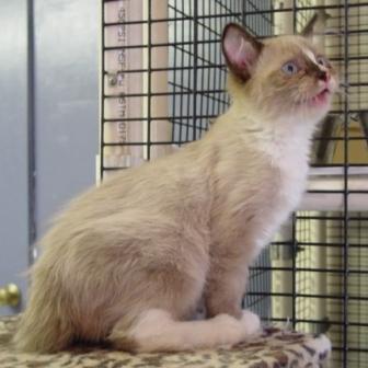 Mink Ragdoll Cat Kitten Mitted with Blaze