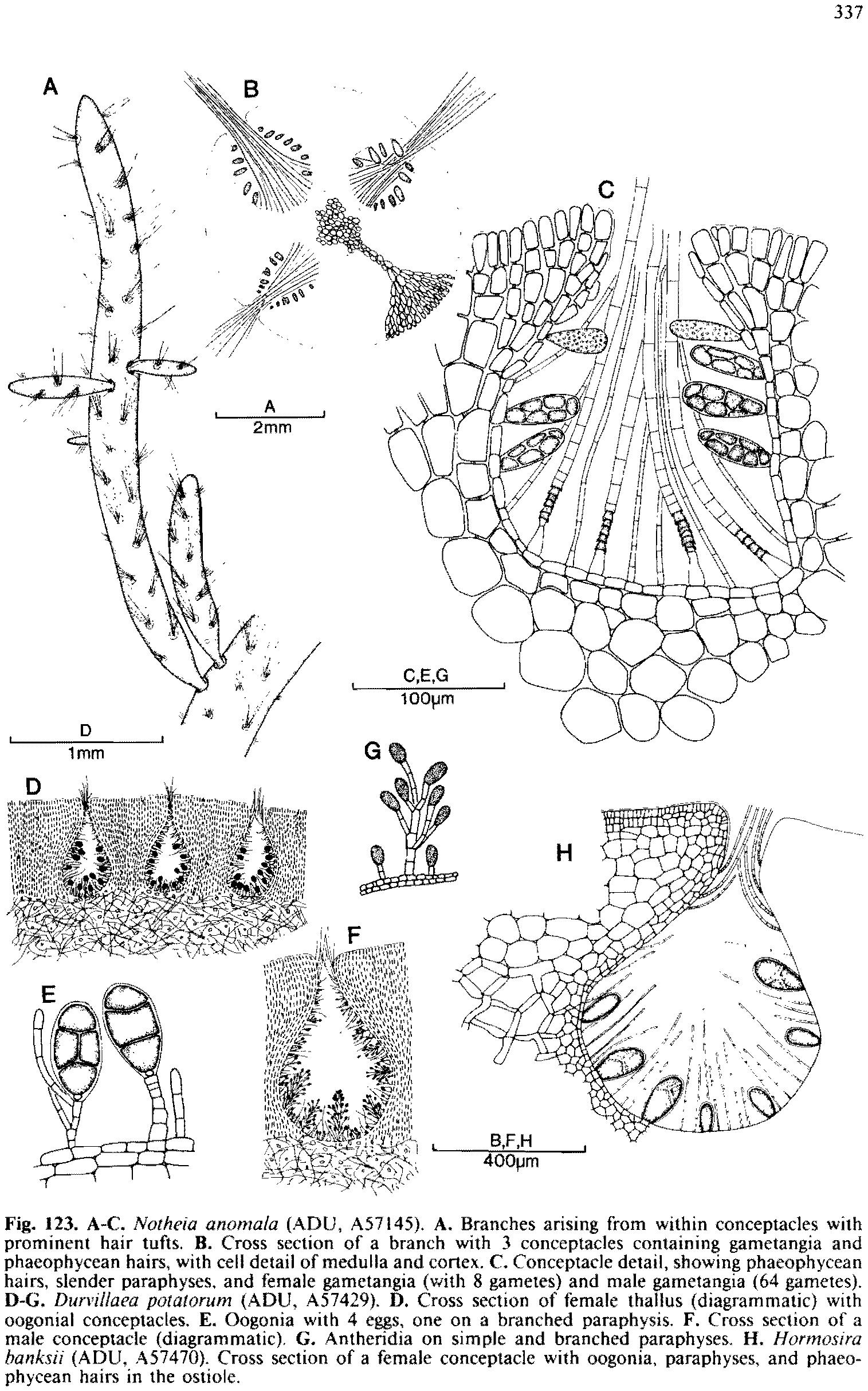 Hormosira Banksii State Herbarium Of South Australia