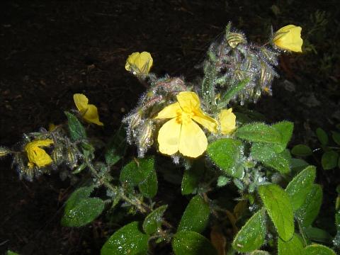 Helianthemum teneriffae
