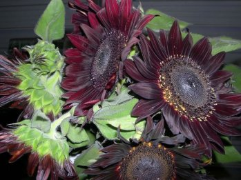 choc-sunflowers