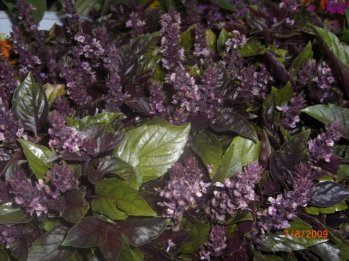 purple-basil