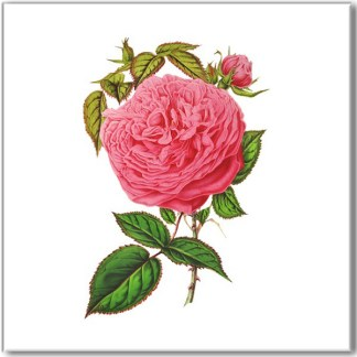 Shabby chic ceramic wall tile, hot pink rose with bud and green leaves on a white square background
