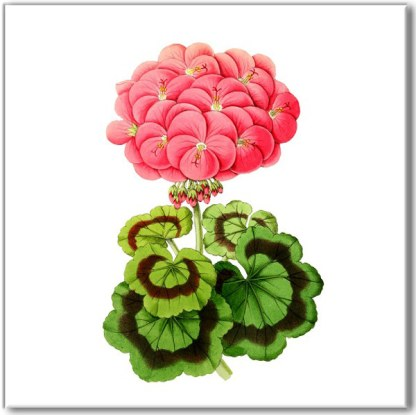 Retro floral wall tile, pink geranium flower with green leaves on a white square background