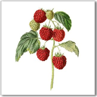 Ceramic wall tile with fruit design, red pink raspberry plant on a white square background