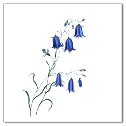 Blue Harebell flower on a white background, ceramic wall tile